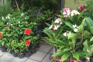 バンコクの植木市